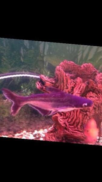 аквариумы с акульими сомами видео