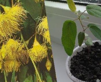 Эвкалипт лимонный флагман фото выращивание и уход в открытом грунте 37
