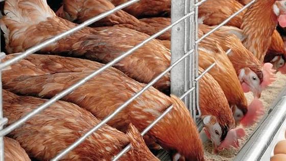 Покупка цыплят в перми