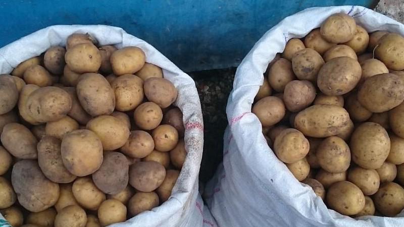 Картофель на рассаду сорта 188