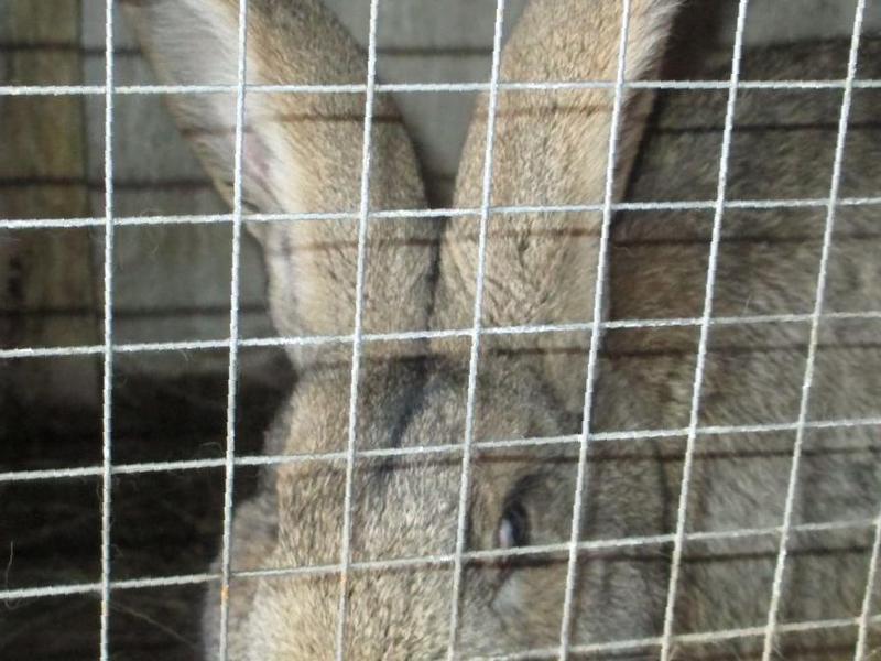 Шараповский кролик фландр купить в спб цена определения уровня